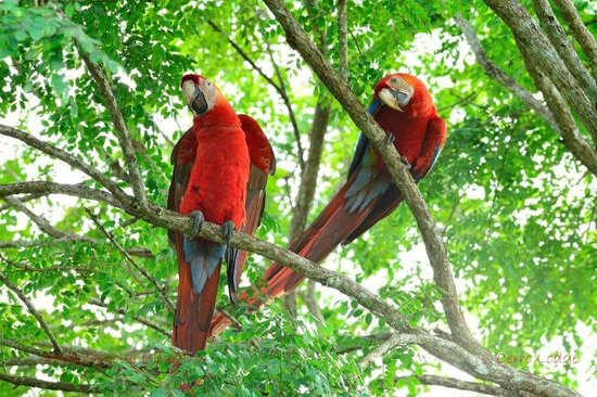 Hotel Cerro Lodge : Scarlet Macaws near the pool