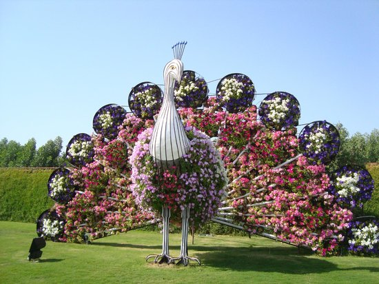 Peacock Arrangement Foto Dubai Miracle Garden Tripadvisor