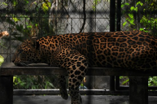 Samui Aquarium and Tiger Zoo: Леопард в клетке