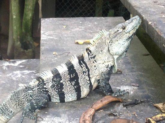 Parque Nacional Curu : Leguan