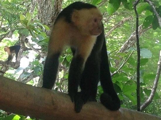 Parque Nacional Curu : Kapuzineräffchen