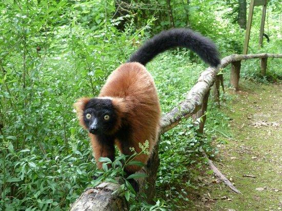 La Vallee des Singes : Lémurien