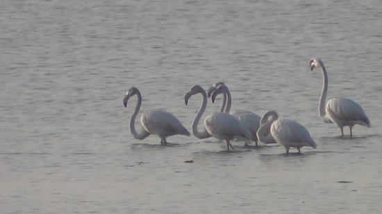 Desert Coursers - Camp Zainabad: Greater Flamingos