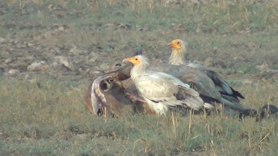 Desert Coursers - Camp Zainabad: Egyptian Vulture