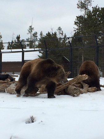 Grizzly and Wolf Discovery Center: Grizzly bear looking for food
