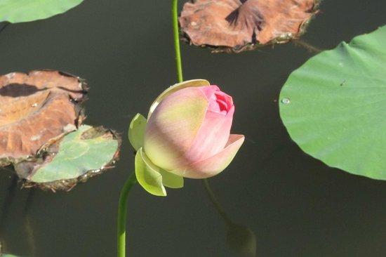 Jerusalem Botanical Gardens: Nelumbo