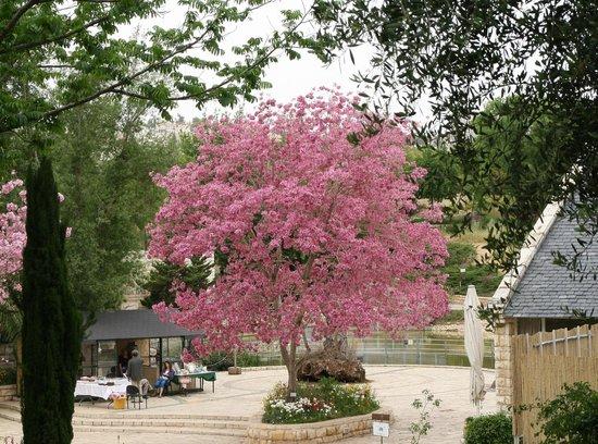Jerusalem Botanical Gardens: Tababua tree