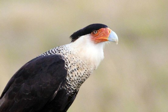West-End Paradise: Crested Caracara - Inland a bit