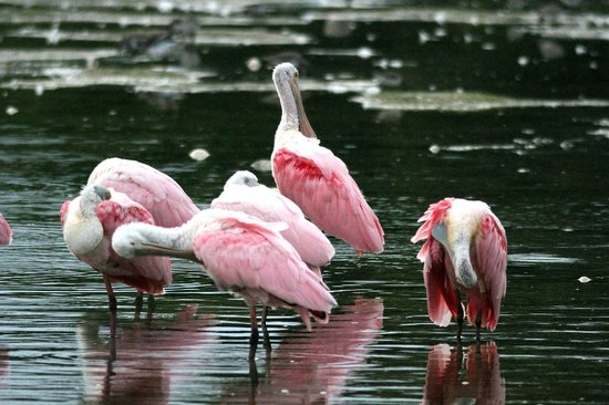 West-End Paradise: Roseate Spoonbills at Ding Darling NWR