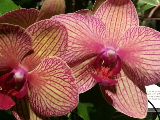 Lewis Ginter Botanical Garden : Orchids