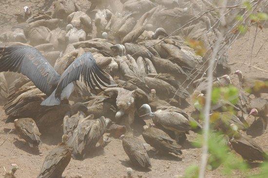 Victoria Falls Safari Lodge : Feeding the vultures!!!