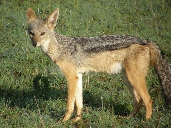 Encounter Mara, Asilia Africa: jackels were everywhere