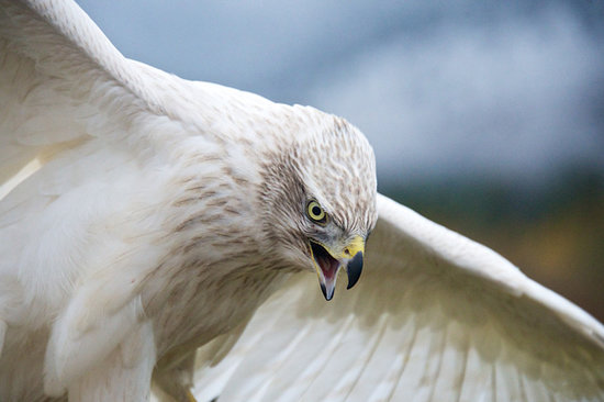 วิลสัน, ไวโอมิง: A Siberian Goshawk stretches its wings at Teton Raptor Center (Photo by Bob Smith)
