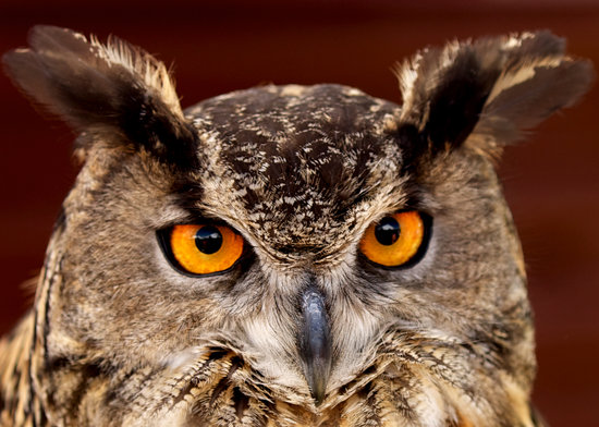 Teton Raptor Center : Eurasian Eagle Owls are among the largest owls in the world (Photo by Ted Adams)