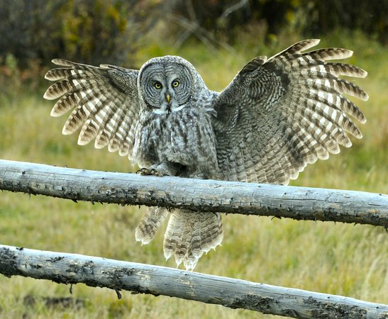 Wilson, WY: A Great Gray Owl comes in for a landing (Photo by Bonnie Burgess)