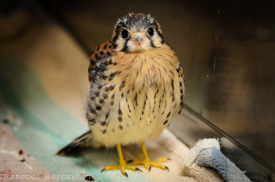 Teton Raptor Center : This orphaned American Kestrel returned to the wild after a broef stay at TRC (Photo by Rebecca