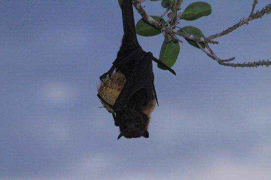 Namale Resort & Spa: Fruit bat outside our Villia