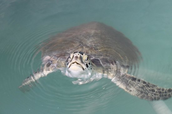 The Turtle Hospital: sauvons les tortues