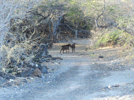 Kiholo Bay: Timid Little Wild Goats