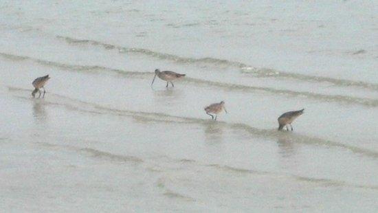 Bunche Beach: Marbled Godwits