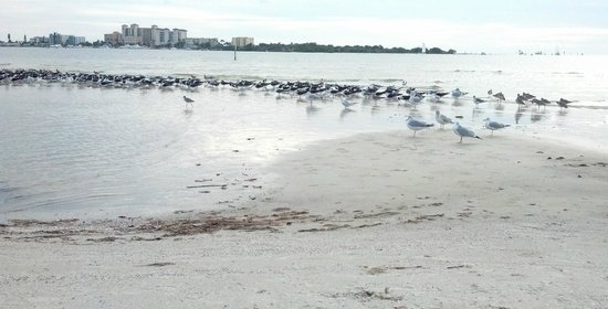 Bunche Beach: skimmers, willets, terns, gulls, and more