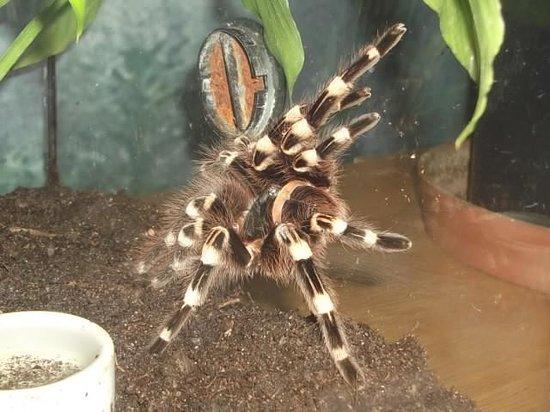 Insectopia: Tarantula spider