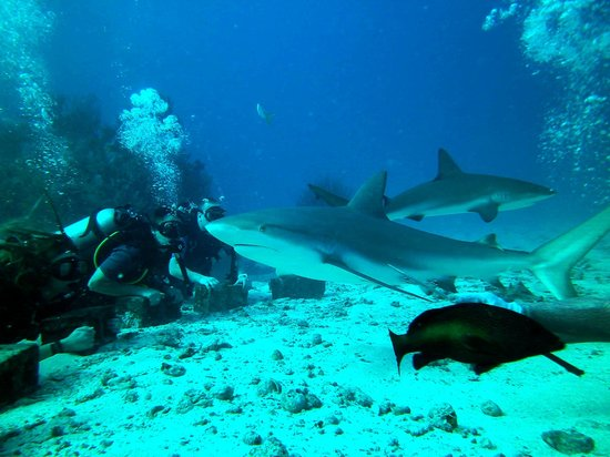 Dive Safaris : Dive Safari Shark Awareness Dive