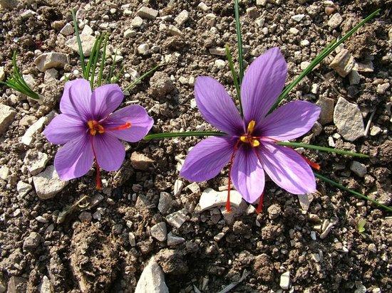 Safran flower Rasitler Bag Evi