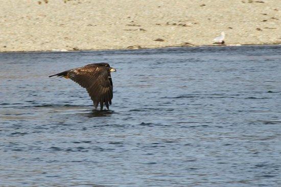 Prestige Sportfishing: lucky shot, eagle skimming alongside the boat