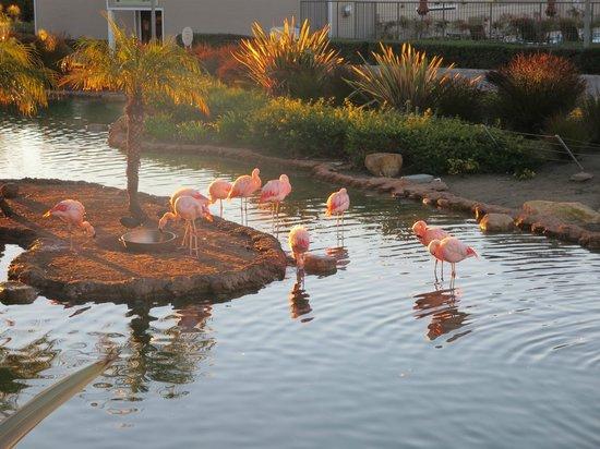 Coronado Island Marriott Resort & Spa: pink flamingos in pond