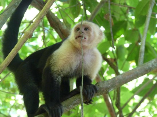 Luna Lodge: A white-faced monkey nearby