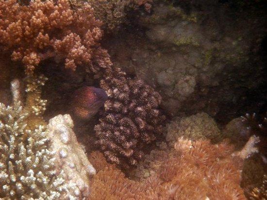 Pearl Beach Resort: Moray eel - snorkelling trip