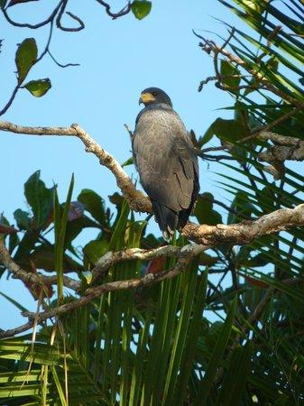 Corcovado National Park: Hawk