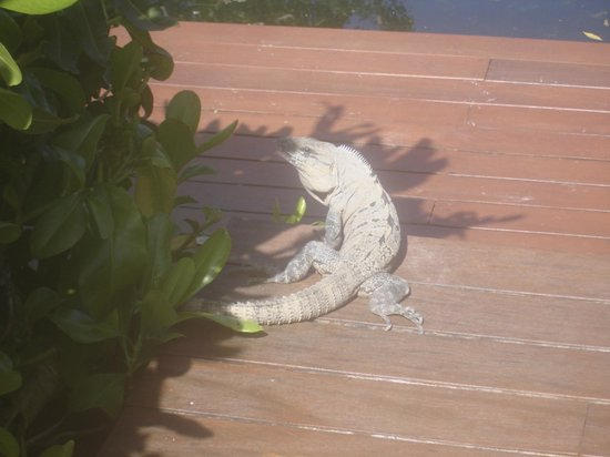 Rosewood Mayakoba: This guy visited us every morning! we called him Alan