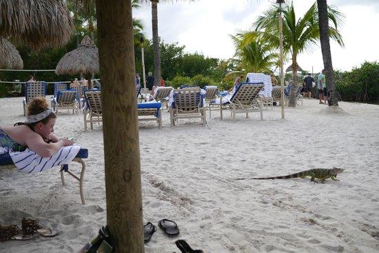 Key Largo Bay Marriott Beach Resort: Friendly, Hungry reptiles
