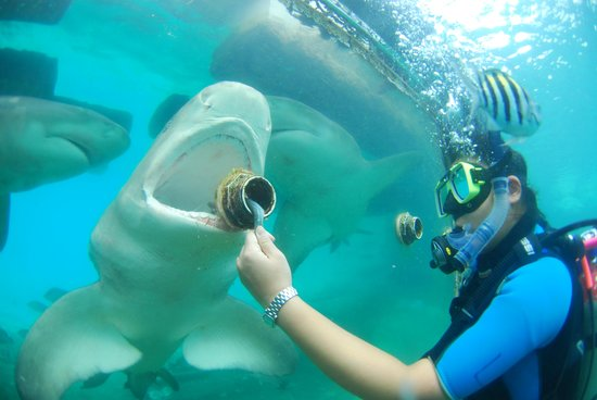 Santa Barbara Beach & Golf Resort, Curacao: Feeding sharks