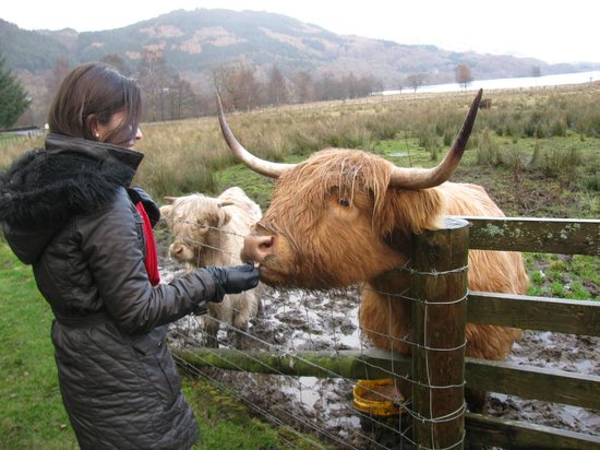 The Hairy Coo - Free Scottish Highlands Tour : Feeding the Hairy Coo!