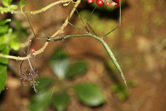 Santamaria Night Tour: stick insect