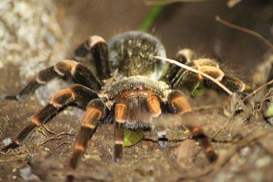 Santamaria Night Tour: Tarantula with orange legs
