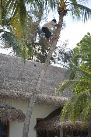 Vivanta by Taj Coral Reef Maldives: Cutting coconut tree