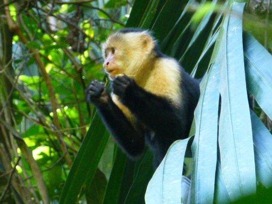 Hacienda Barú Lodge: troops of monkey are easily visible