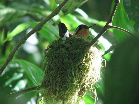 Monteverde Cloud Forest Biological Reserve: Hummingbird in nest along trail