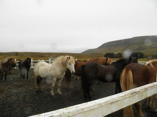 Laxnes Horse Farm : Horses hanging out