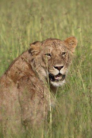 Singita Sabora Tented Camp: Lioness in the grass
