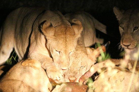 Singita Sabora Tented Camp: Lions eating a Topi
