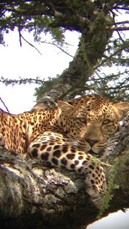Singita Faru Faru Lodge: Leopard