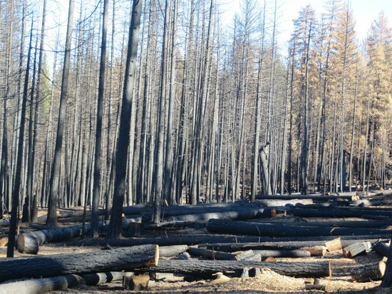Evergreen Lodge at Yosemite : Burnt Forest Down the Road From the Lodge