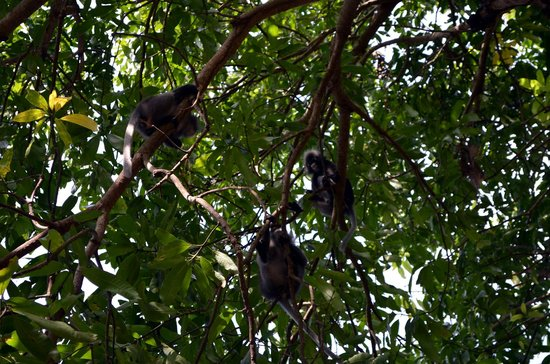 Sunrise Tropical Resort: Dusky leaf monkeys