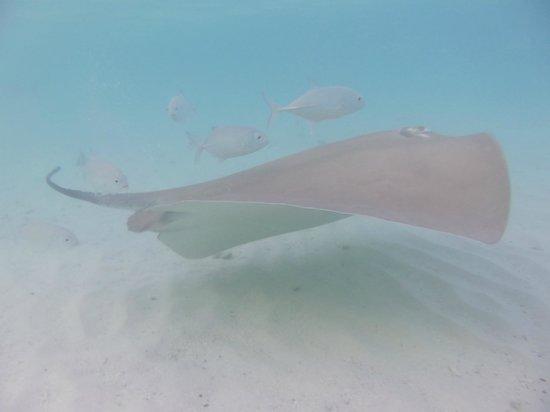 Vivanta by Taj Coral Reef Maldives: Stingray