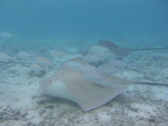Vivanta by Taj Coral Reef Maldives: Stingrays